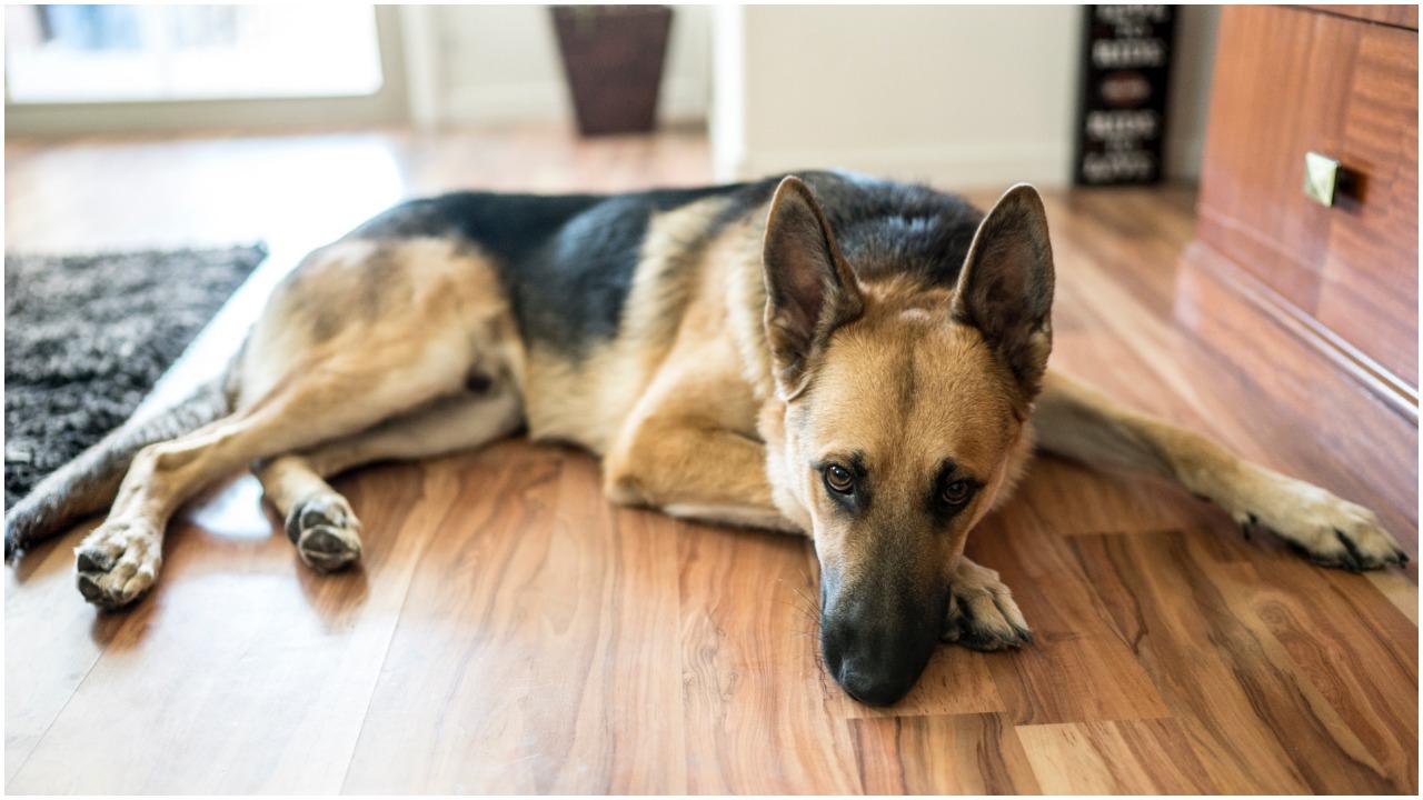 Pies przez kilka miesięcy mieszkał u opiekunki. Niespodziewanie zjawił się jego właściciel, a zwierzak oszalał