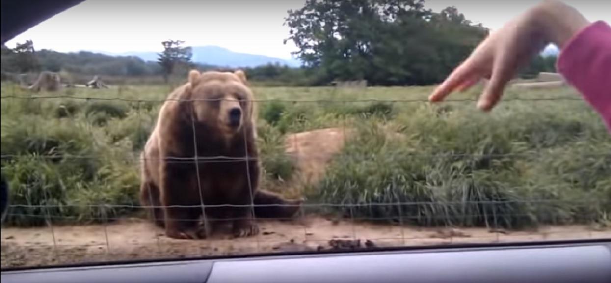 Kobieta nagrywała, jak macha do olbrzymiego niedźwiedzia. Takiej reakcji zwierzaka jednak nie przewidziała