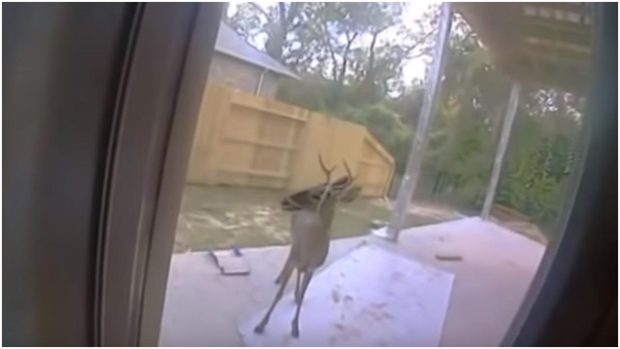 Znikąd pojawił się jeleń i poszedł do rodziny po pomoc. Gdy tylko zdali sobie sprawę, co się dzieje, zadzwonili po policję