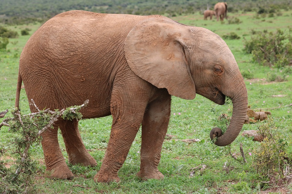 Słoń wychowany przez ludzi wrócił do nich po wielu latach. Powód jest wzruszający