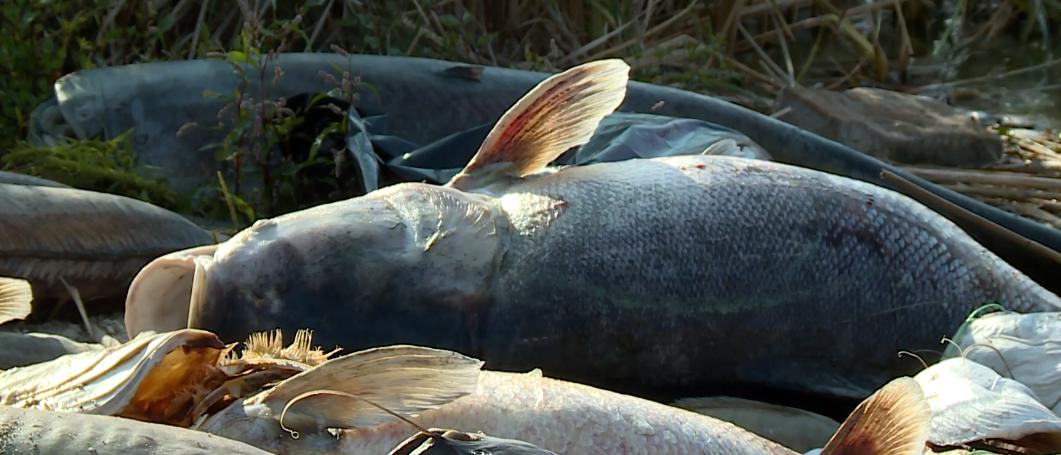 Ponad 2 tony śniętych ryb wyrzuciło jezioro na Śląsku. Co tam się dzieje?