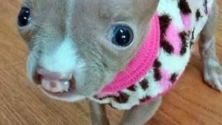 Najmniejszy szczeniak pitbulla na świecie podbija sieć. Nie miał szans, by przeżyć, ale wydarzył się cud