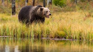 Niedźwiedź zaatakował Polaków. Jeden z mężczyzn nie żyje