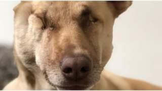 Pies przeszedł niewyobrażalne piekło. 17 razy postrzelony, znaleźli go na skraju śmierci, ale walczył dalej