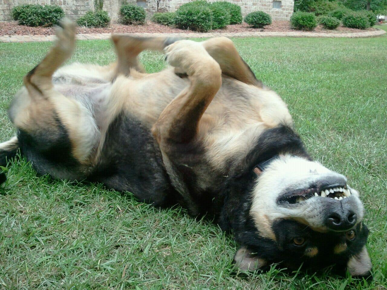 Adopcja psa leży w trawie