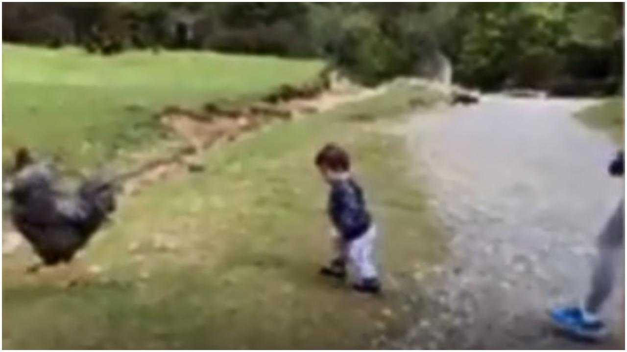 Dziewczynka spokojnie szła za kogutem, nagle matka musiała ją chwycić i ratować życie. Wszystko się nagrało