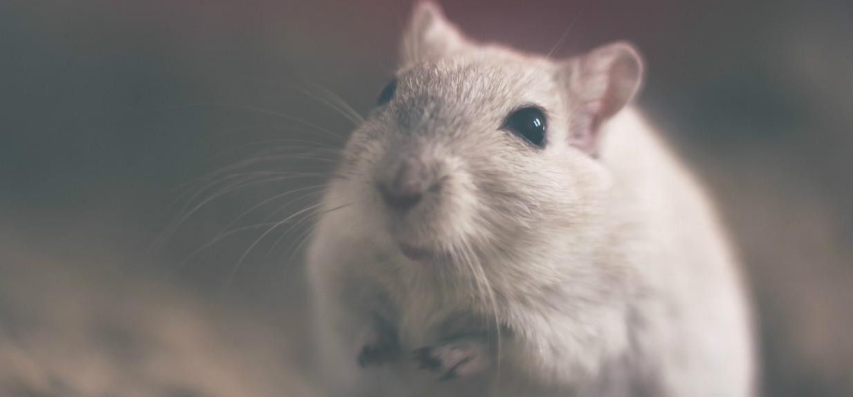 To się nie mieści w głowie, naukowcy zszyli ze sobą dwie myszy i patrzyli, jak cierpią. Nagranie tylko dla ludzi o mocnych nerwach