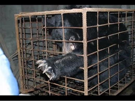 Przez lata niedźwiedź był więziony w ciasnej klatce. Uwolnili go i nie mogli powstrzymać łez