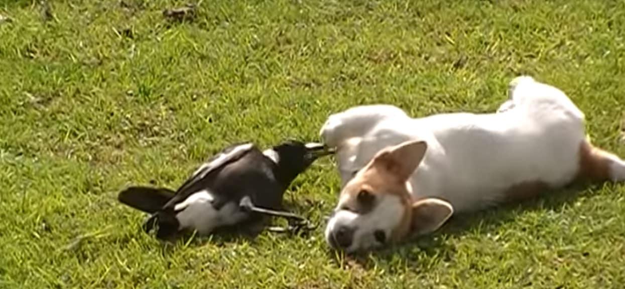 Nikt jej nie wierzył w opowieść, co jej pies wyczynia ze sroką. Jak kolejny raz ich przyłapała, chwyciła za telefon i wszystko nagrała