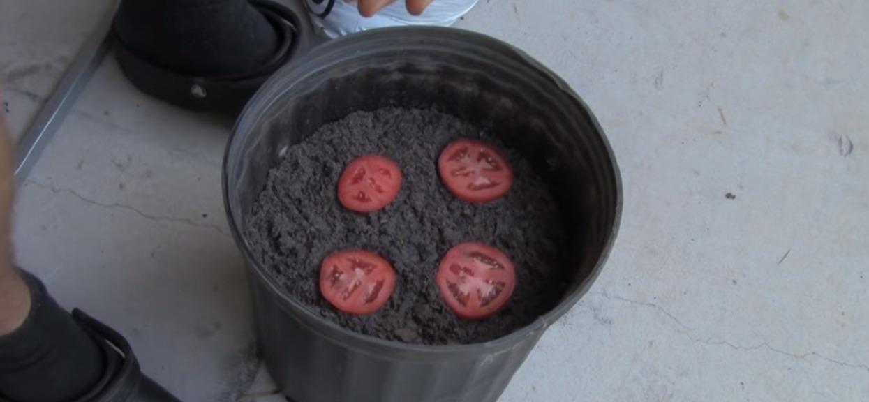Do doniczki wypełnionej ziemią włożył 4 plastry pomidora. Po 10 dniach przecierał oczy ze zdumienia