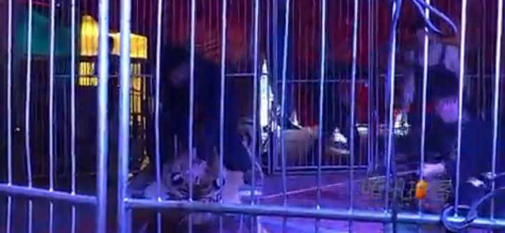 Właśnie dlatego cyrk to bestialstwo. Związali tygrysa do granic możliwości, by ludzie mogli na niego wejść dla zdjęcia