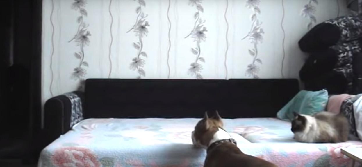 Właściciele wyszli i psa ogarnął nagły szał radości. Dzięki ukrytej kamerze odkryli dlaczego, kota aż sparaliżowało ze zdumienia