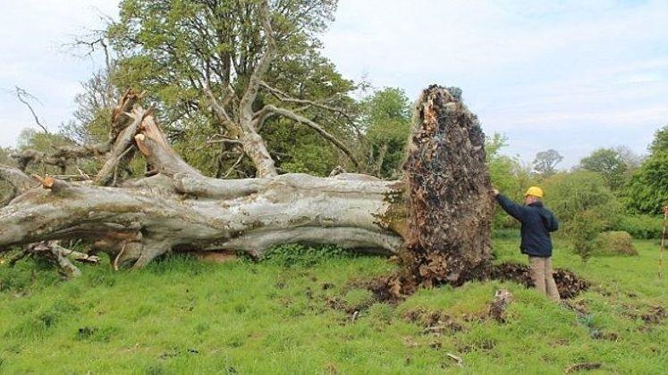 Przez 1000 lat był ukryty w korzeniach potężnego drzewa. Podmuch huraganu ujawnił znalezisko, które mrozi krew w żyłach