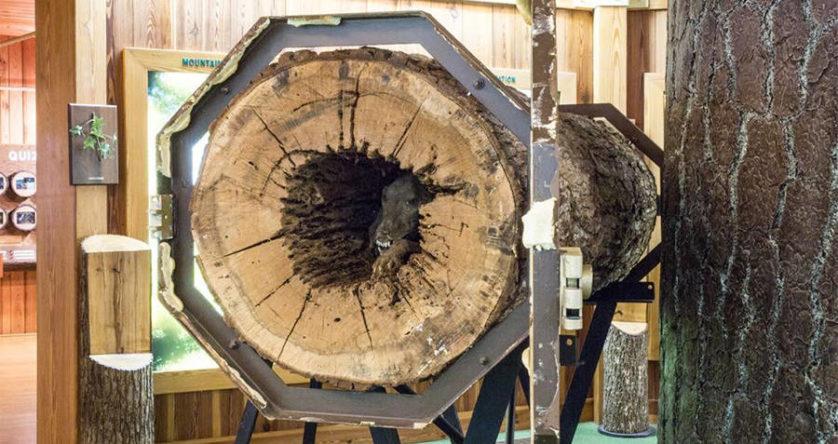 Znaleźli psa, który przez 50 lat tkwił w drzewie. Dla wielu ten widok może być wstrząsem