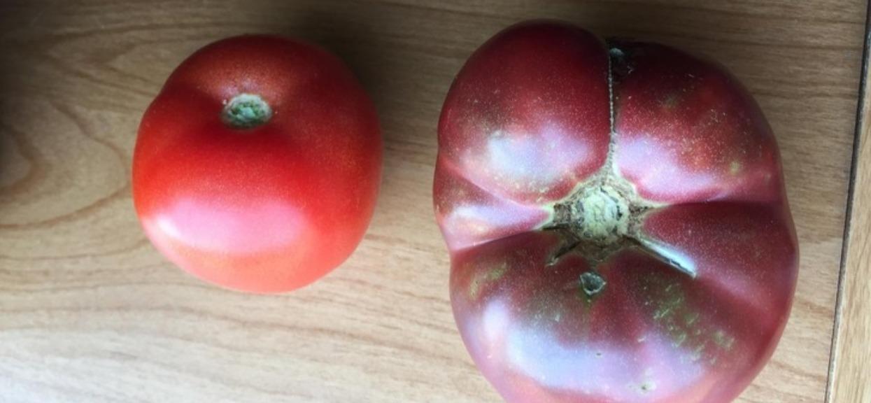 Pomidory mogą wywołać niemały szok
