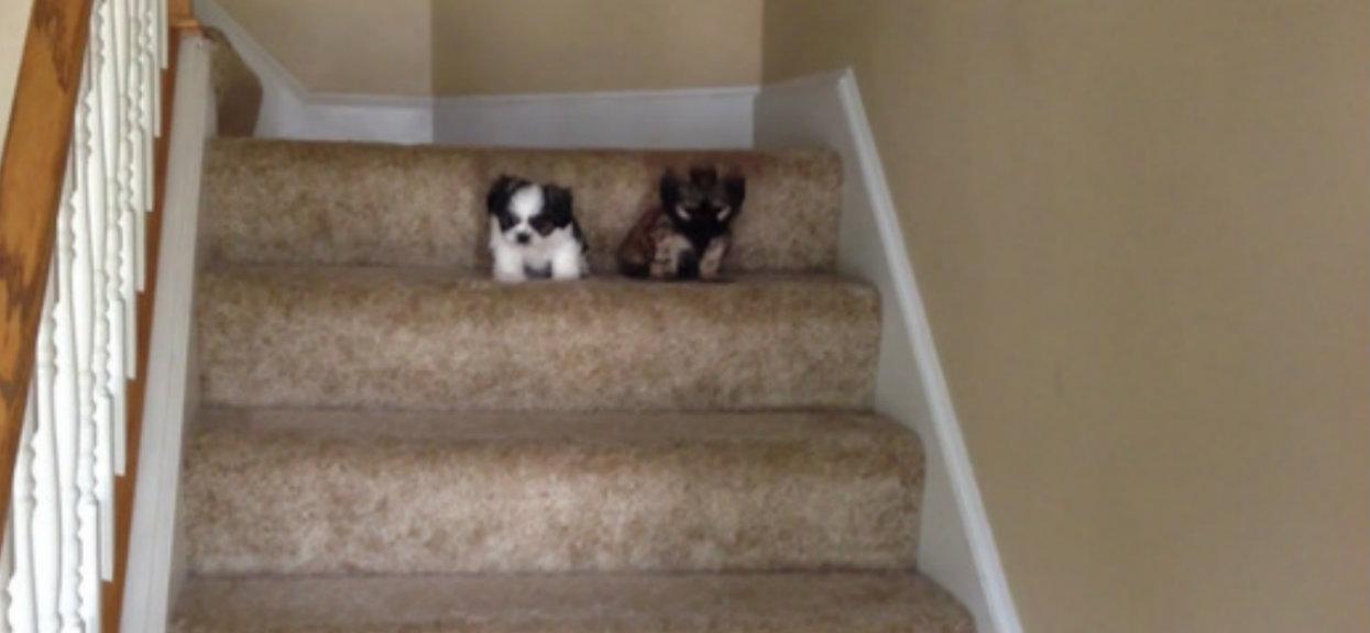 Wideo błyskawicznie podbija internet. Małe pieski po raz pierwszy schodzą same po schodach, poprawią humor każdemu na cały dzień