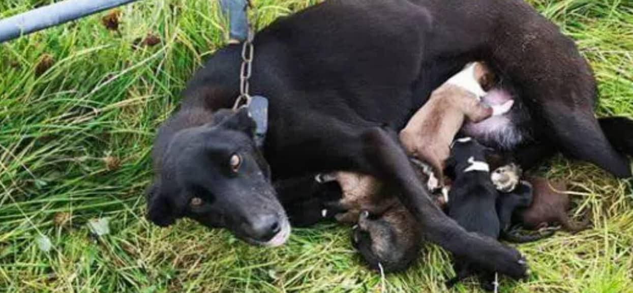 Dramatyczna walka wycieńczonej suczki o życie szczeniaków. Widok, którego nie da się opisać cenzuralnymi słowami