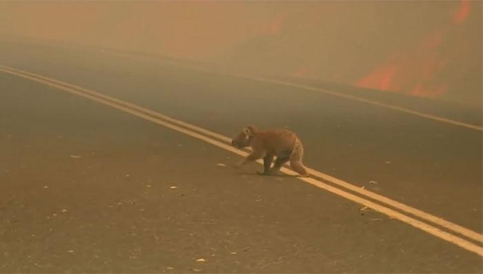 Ogromne pożary dziesiątkują całą populację. Ostatnie misie koala umierają na naszych oczach