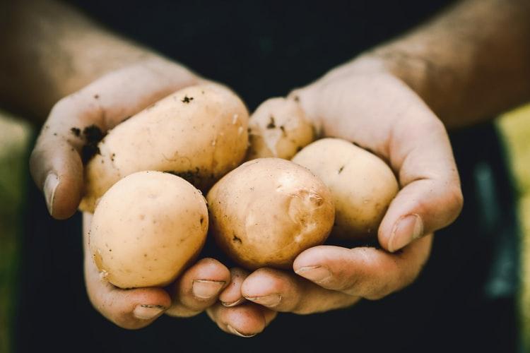 Zieloną część ziemniaka trzeba zawsze odkrajać i wyrzucać. Zjadając ją narażasz się na poważne niebezpieczeństwo