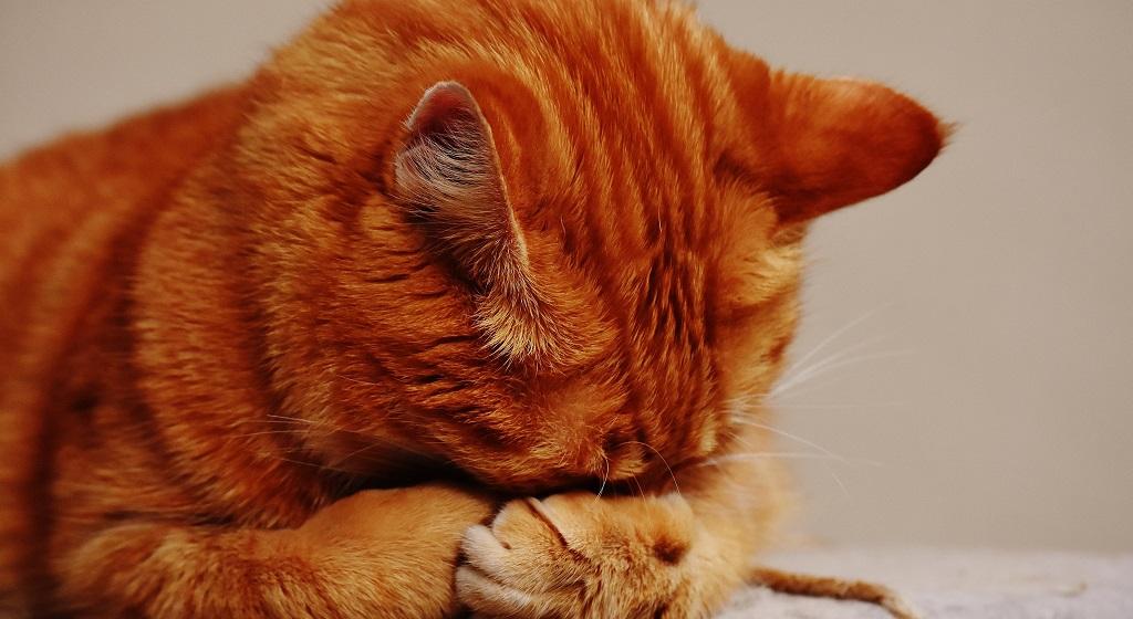 Twój kot ma nadwagę? Natychmiast wprowadź dietę, jeśli nie schudnie może nawet umrzeć