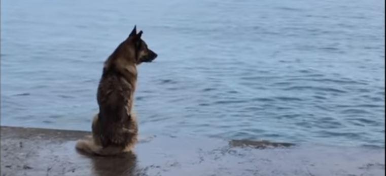 Owczarek niemiecki codziennie siada w tym samym miejscu i patrzy w dal. Powód wyciśnie łzy każdemu