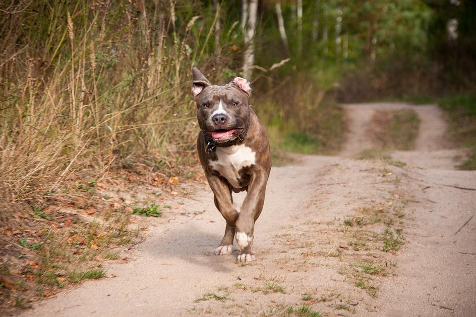 Nagle pitbull zerwał się ze smyczy i poleciał w krzaki. Po chwili słychać było przeraźliwy krzyk dziecka