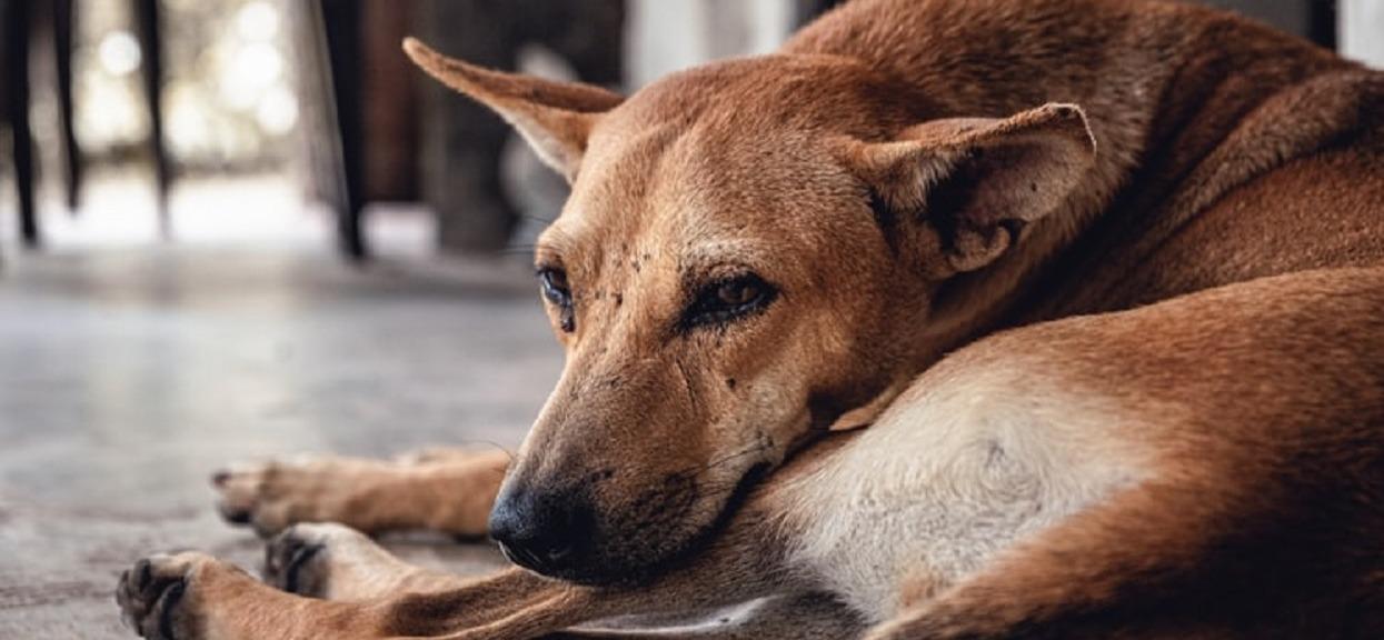 Nieznany wirus zabija psy. Czy czworonogom w Polsce coś grozi?