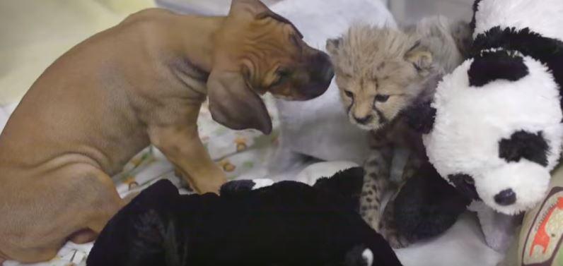 Pies i gepard wychowywali się razem, ale dziki kot wrócił do natury. Nagranie ich spotkania po latach wywołuje ciarki, ciężko oderwać wzrok
