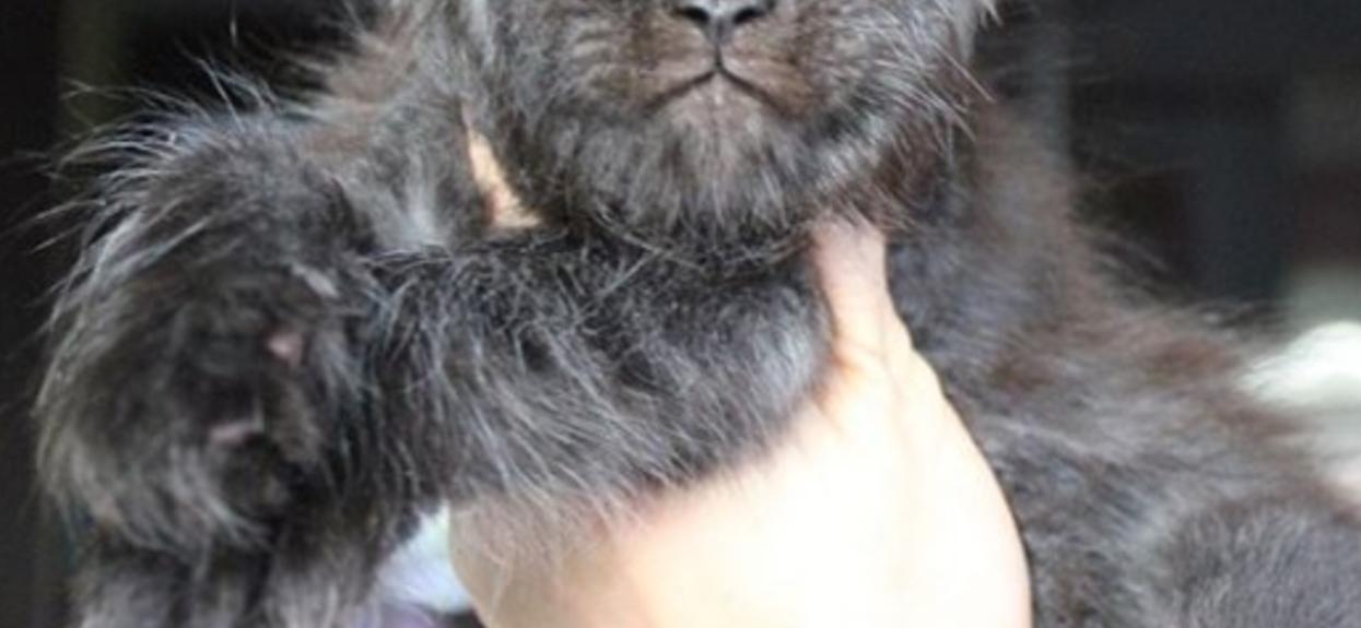 Jego wzrok hipnotyzuje. Prawdziwy kot z ludzką twarzą wygląda nieziemsko, ale wzbudza też niepokój