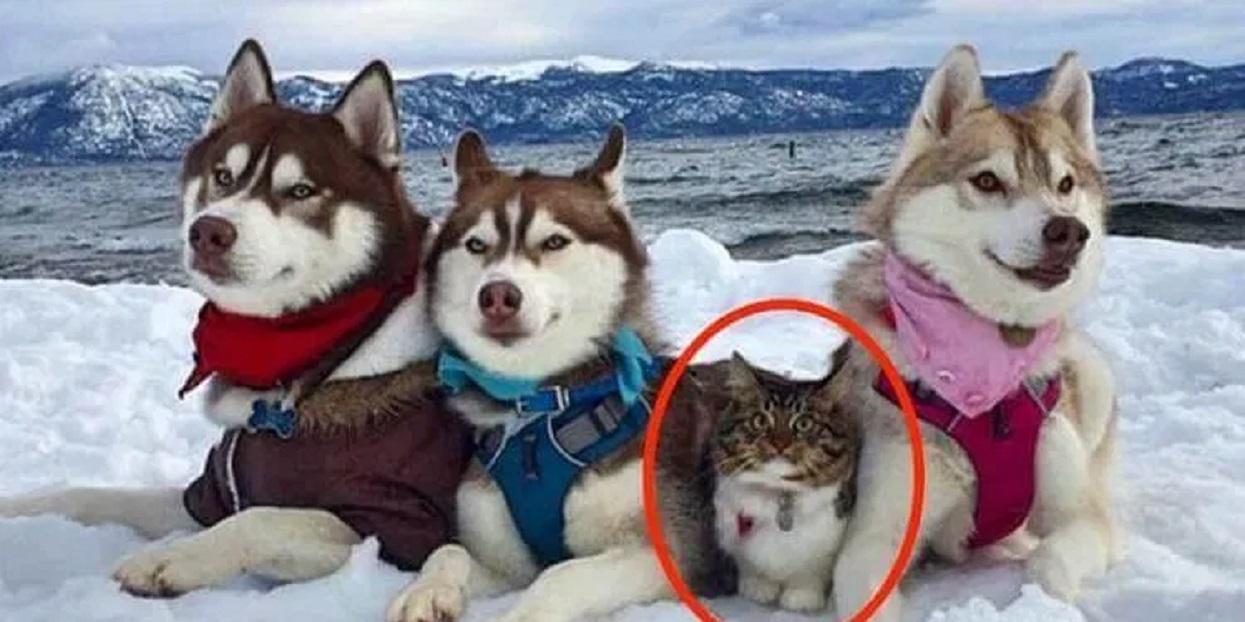 Kot został uratowany przez Husky. Wierzy, że jest silnym i odważnym psem