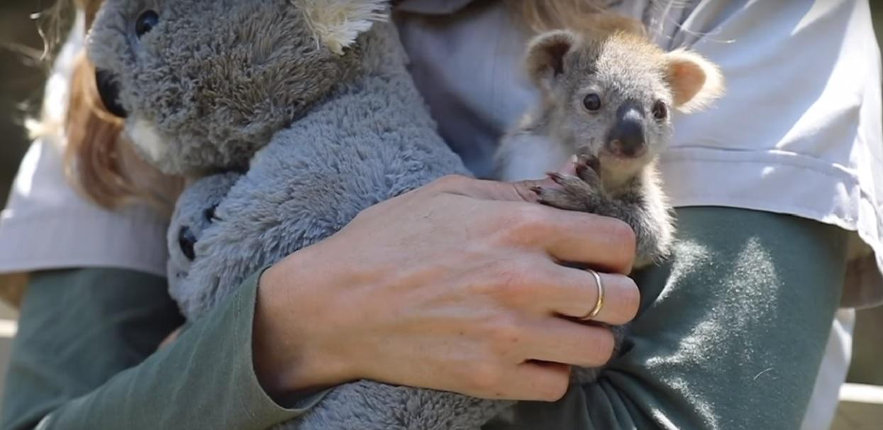 Mały miś koala stracił mamę. Teraz jego towarzyszem jest pluszak