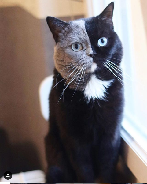 Ten kot dzięki genetyce urodził się z wyjątkowym umaszczeniem, wygląda jakby miał dwa pyszczki