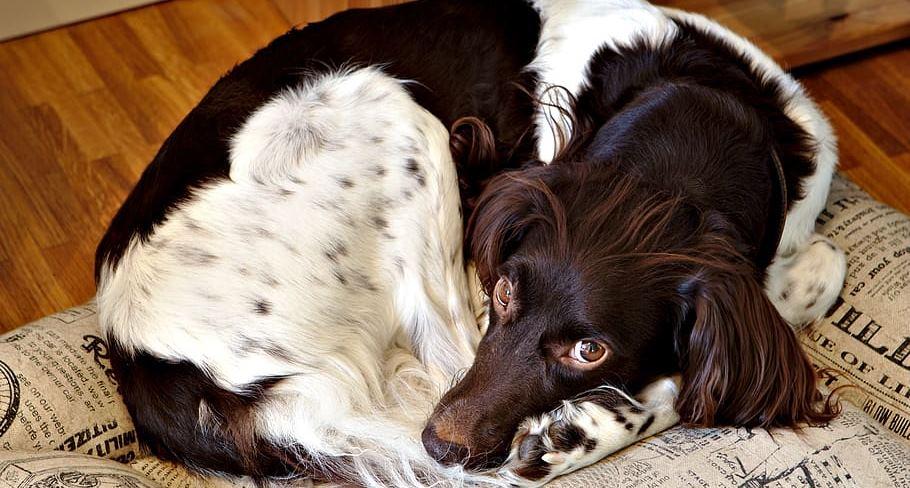 Dlaczego psy chodzą w kółko zanim położą się spać? Odpowiedź jest banalnie prosta