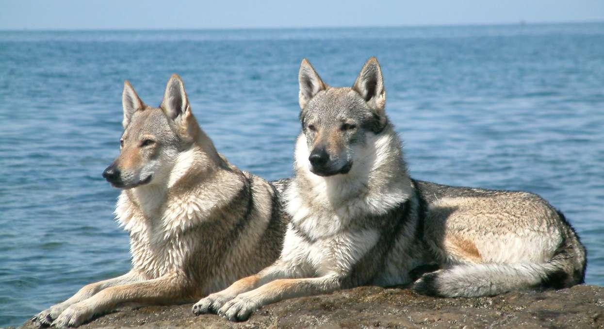 Skrzyżowali owczarka niemieckiego z wilkiem. Szczeniaki są nieprawdopodobne, ich widok odbiera mowę