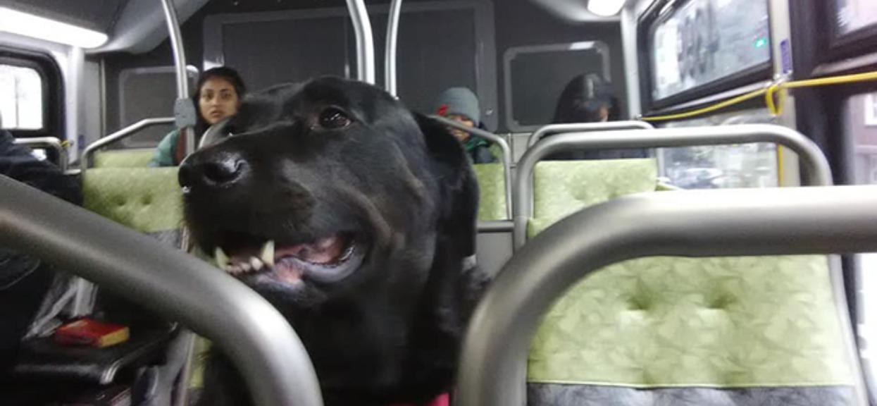 Zwierzę samo doskonale wie, co robi. W jeździe autobusem ma jeden cel