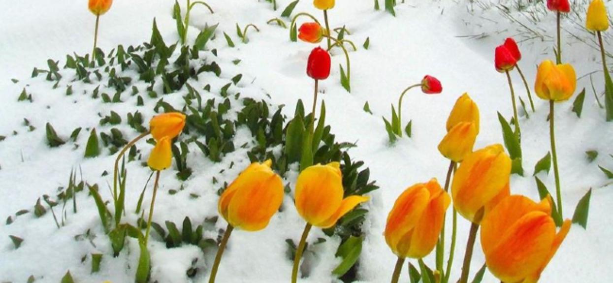 Tulipany w śniegu, niezwykle rzadki widok