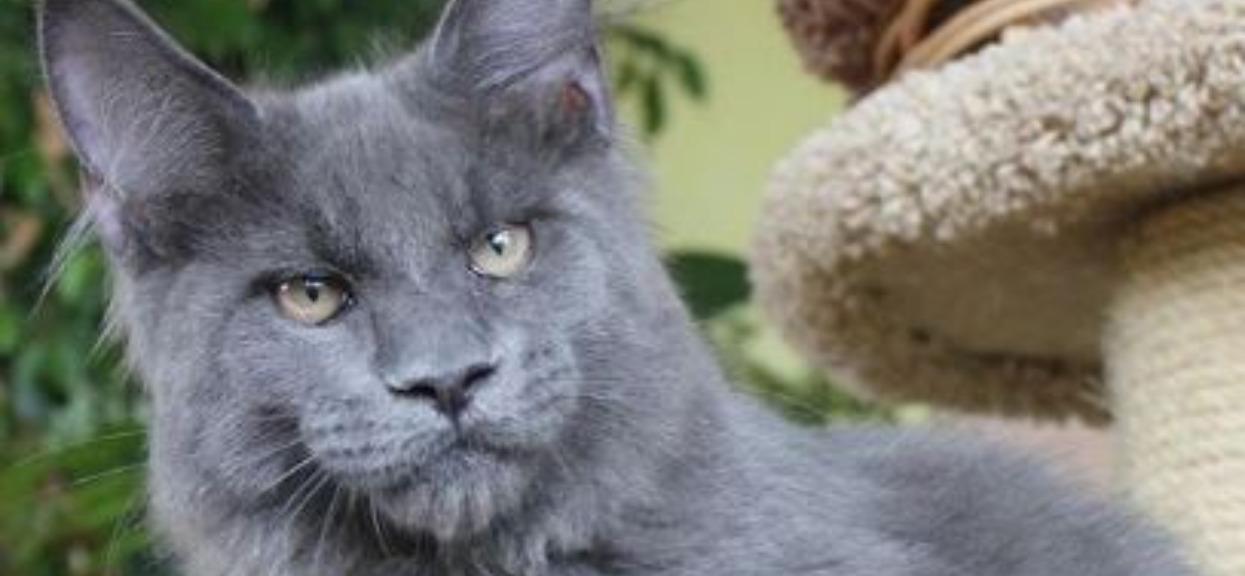 Internauci zwariowali na punkcie kota z ludzką twarzą. Nagranie jest powalające