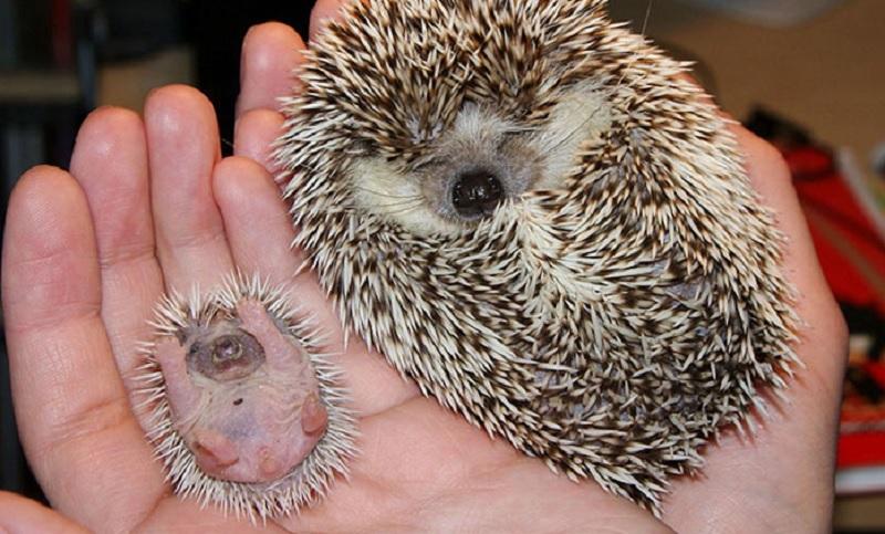 Mama i dziecko jeżyk. Czy może być słodszy widok?