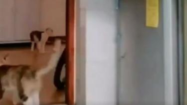 Filmik ma setki tysięcy wyświetleń, zostawiła koty same w kuchni i uruchomiła kamerę. Ich zachowanie rozkłada na łopatki, pękamy ze śmiechu