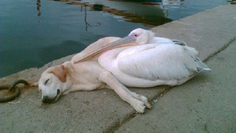 Pelikan zaprzyjaźnił się z bezdomnym psem. Prawdziwa przyjaźń nie zna granic