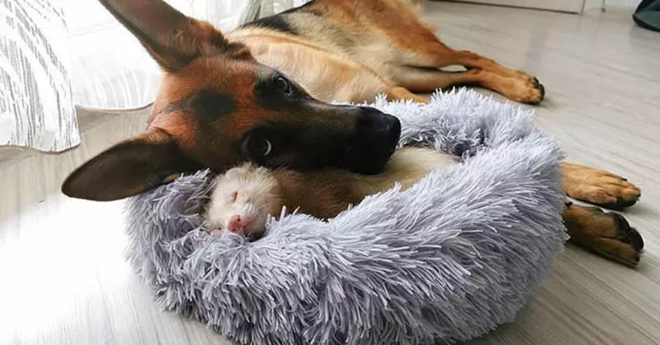 Fretka i pies zostali najlepszymi przyjaciółmi. Prawdziwa międzygatunkowa miłość