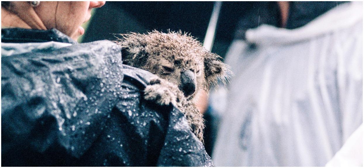 Celowo zabili setki koali, z zimną krwią patrzyli, jak umierają. Okrutne znalezisko, tylko dla osób o mocnych nerwach