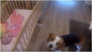 Beagle podbiegł do łóżeczka małego dziecka. Chwilę potem stało się niepojęte, mama musiała od razu zareagować