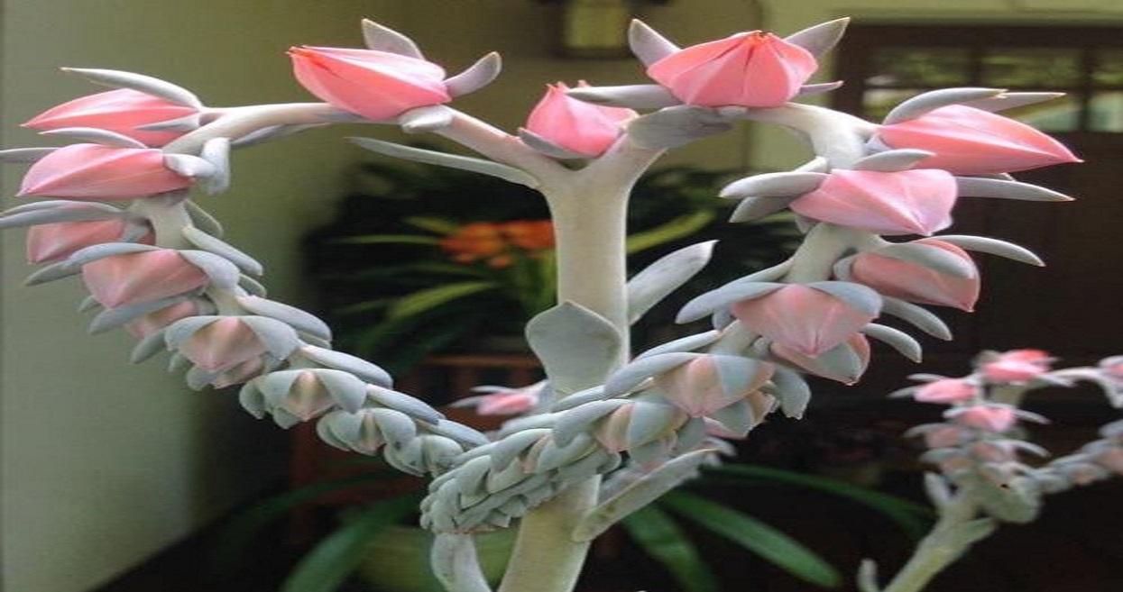 Prawdziwy unikat, roślina w kształcie serca