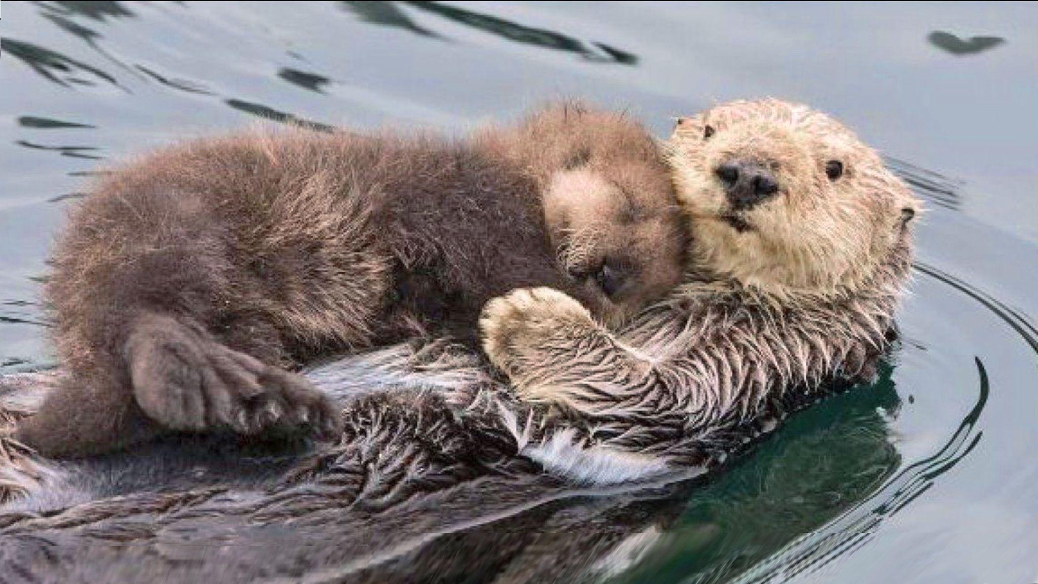 Mama wydra pływa, a dziecko śpi na niej. Prawdziwa miłość