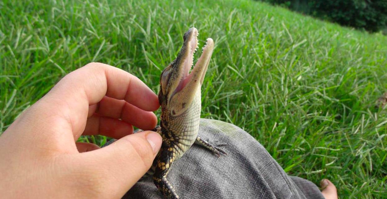 Ten aligatorek lubi być drapany po główce. O jakie pieszczoty zabiegają Wasi pupile?