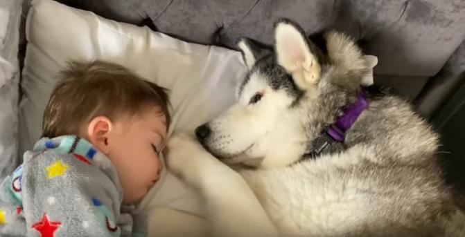 Husky zakradł się do łóżka dziecka. Chwilę potem stała się niesamowita rzecz, nagranie pokochały miliony internautów