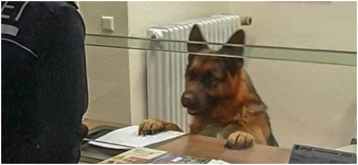 Właścicielka psa zaczęła śpiewać podczas jazdy samochodem. Reakcja owczarka niemieckiego doprowadza do łez, wszystko się nagrało
