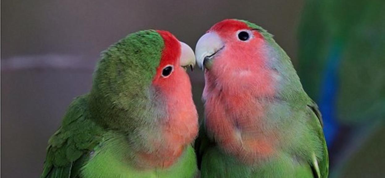 Urocza papużka nierozłączka skradła buziaczka. Jak tu się nie rozczulić?