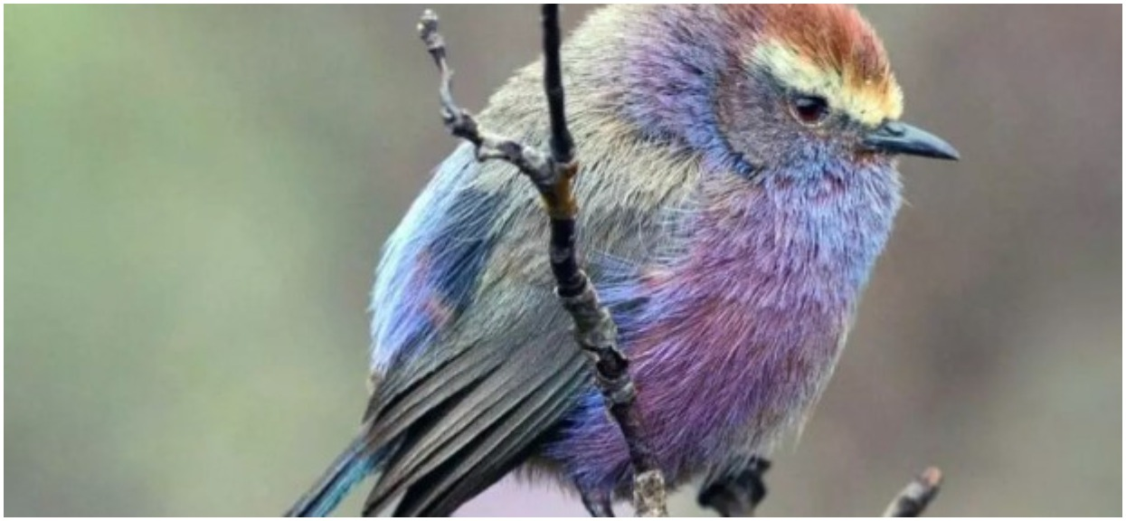 Sikorczak tybetański zachwyca pięknym ubarwieniem